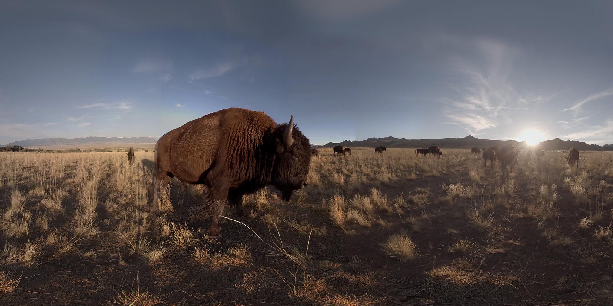 bison VR
